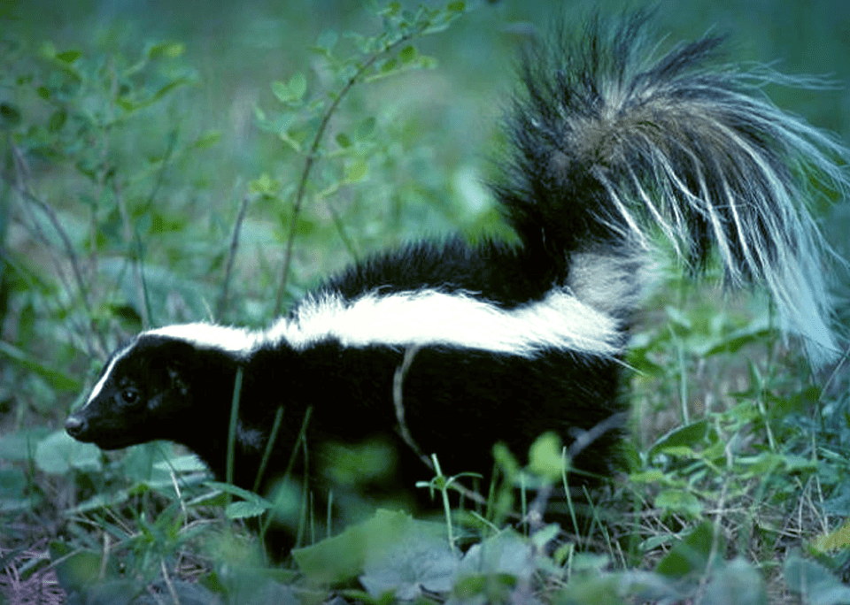 Sprayed by a Skunk - Fisher Glen Animal Hospital
